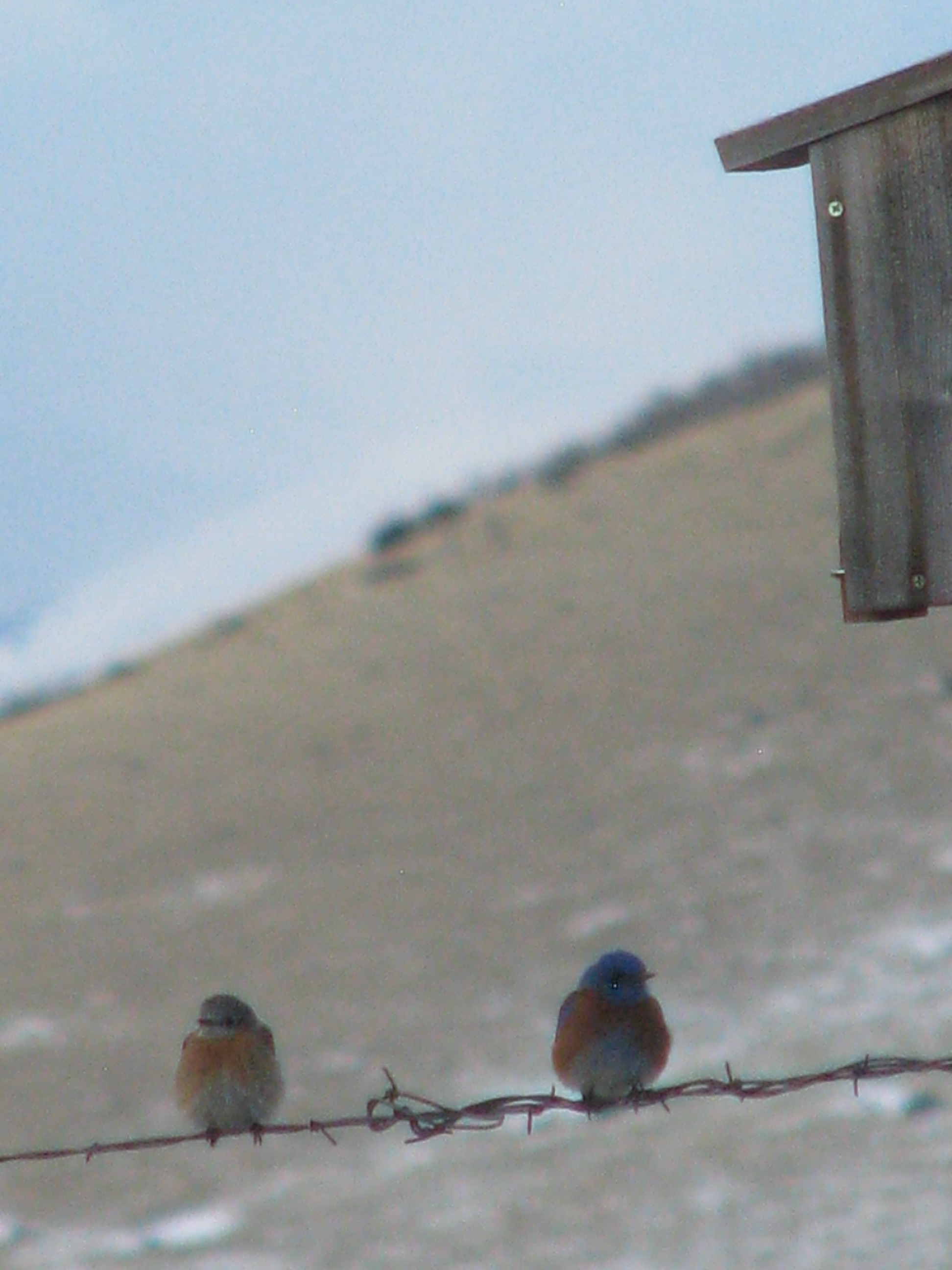 Colorado Western Bluebirds