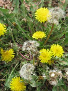 Dandelion arrangement